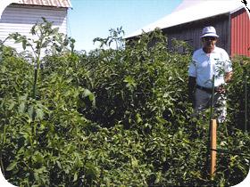 mint-compost-tomato-plants 1